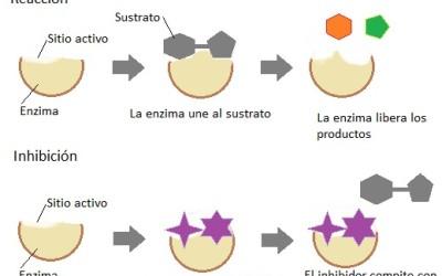 La importancia de las enzimas en la cosmética
